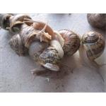 rimosso kosito Allevamento lumache Lunigiana Lumache - Filattiera(MS)