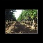Vini Falconieri - Nardò(LE)